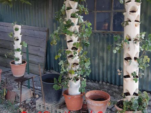 Coltivazione fragole in verticale